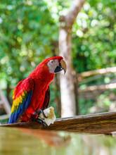 Scarlet Macaw (Ara Macao) Eati...