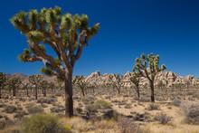 Joshua Trees (Yucca Brevifolia...