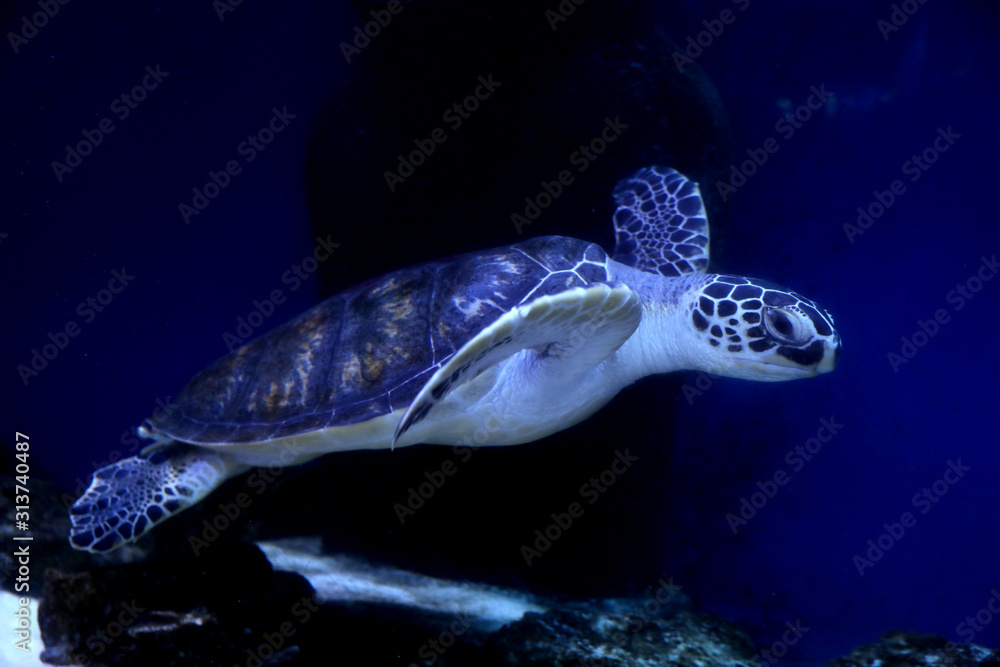 Obraz Beautiful turtle swimming in clear aquarium water fototapeta, plakat