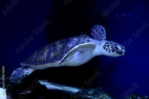 Fototapeta Beautiful turtle swimming in clear aquarium water obraz