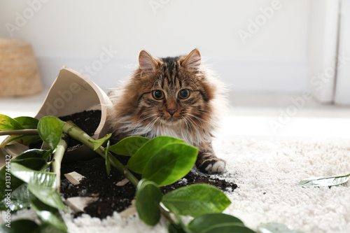 Cat near overturned houseplant on light carpet at home Canvas