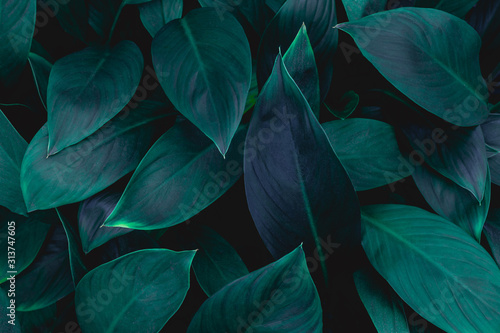 closeup nature view of green leaf in garden, dark wallpaper concept, nature background, tropical leaf #313747605