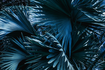 Fototapeta Liście tropical palm leaf and shadow, abstract natural green background, dark blue tone