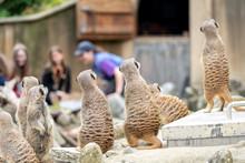 Curious Meerkats At The Zoo; G...