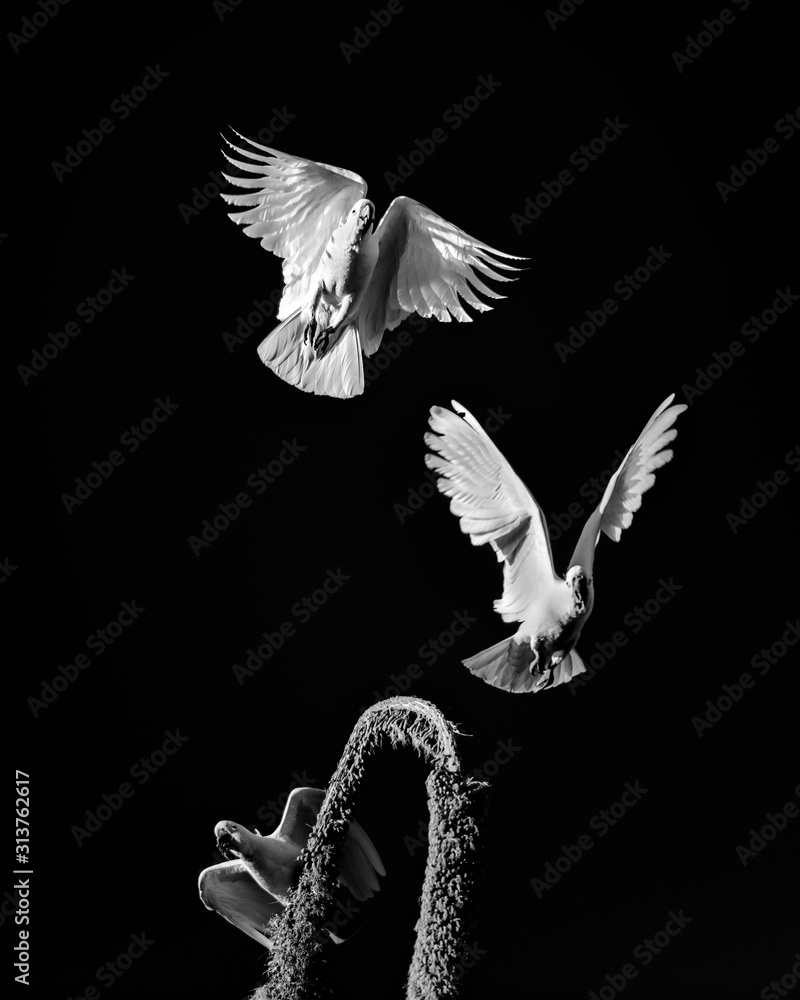 Fototapeta Black and white photo of a flying Cockatoos, Sydney Australia