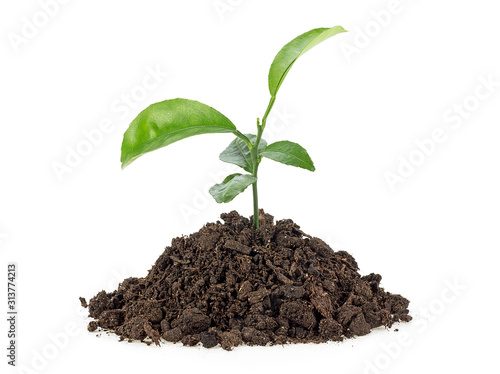 Obraz Small growing green plant with dark brown soil, white background. - fototapety do salonu