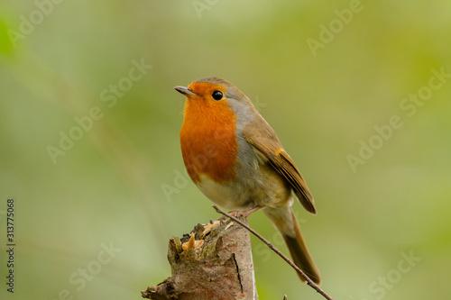 Photo  Robin