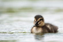 Duckling Berkhamsted