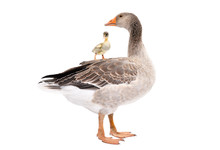 Goose Standing With A Gosling ...