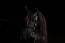 Friesian Horse In Portraits In...