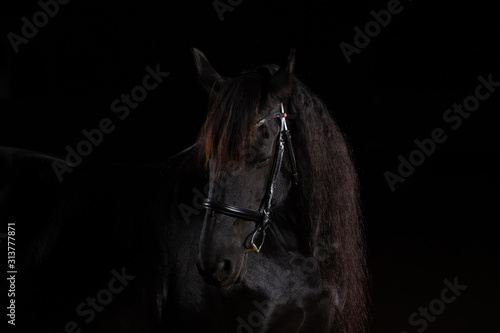 Fototapety, obrazy: Friesian horse in portraits in front of a black background photographed with LowKey flash. Horse looks to the right shoulder.