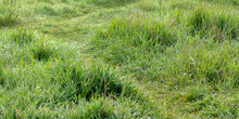 Green Grass In Morning Dew. Be...
