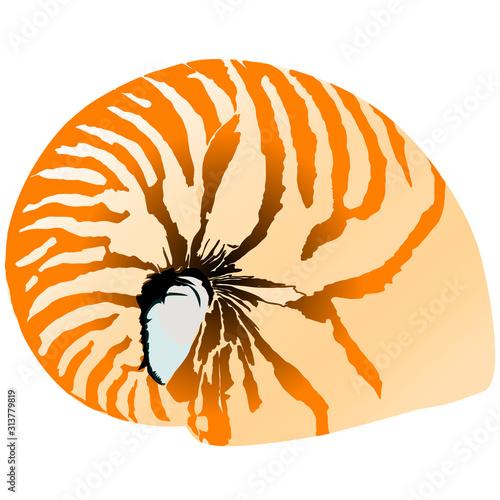 Fotografie, Obraz  nautilus isolated on the white background vector illustration