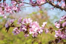 Prunus Sargentii 'Charles Sargent' Detail Blüte