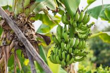 Banana Tree With Unripe Raw Gr...
