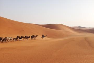 A herd of Arabian camels crossing the desert sand dunes of Riyadh, Saudi Arabia
