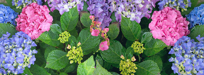 Panel SzklanyBlue Hydrangea background. Macro photo. Flowers background.