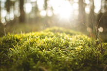 Close-up Of Rich Green Moss On A Sunlit Forest Floor