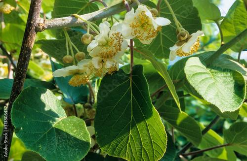 Photo Kiwi, fleur, male, actinidia chinensis