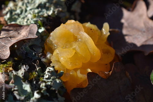 Fototapeta  Picture of a Tremella Mesenterica a common jelly fungus in the Tremellaceae family of the Agaricomycotina