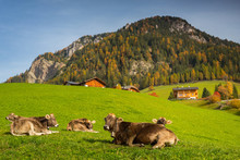 Idyllic Meadow With Cows And D...