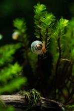 Baby Ramshorn Snail Climbing D...
