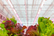 canvas print picture Professional growth of lettuce with pink led lighting