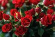 Close-up of small red roses