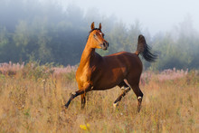 Chestnut Arabian Horse Runs Fr...