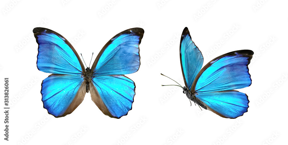 Fototapeta Set two beautiful blue tropical butterflies with wings spread and in flight isolated on white background, close-up macro.