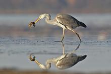 Grey Heron With Fish In Beak. ...