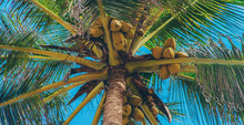 Coconut Trees On The Island. S...