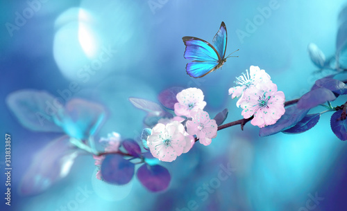 Beautiful blue butterfly in flight over branch of flowering apricot tree in spring at Sunrise on light blue and violet background macro Canvas Print
