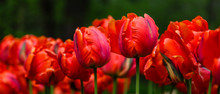 Red Flower Of Tulip Sort Parro...