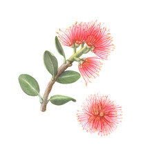 Pohutukawa Or New Zealand Christmas Tree Pencil Drawing Isolated On White