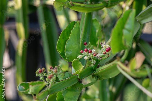 Photo Close up Cissus quadrangularis herb plant