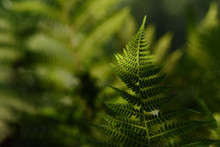 Fern Leaf In The Forest Backl...