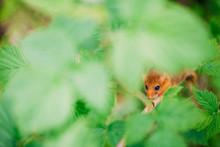 Little Hazel Dormouse Climb The Twigs In Nature. Muscardinus Avellanarius.
