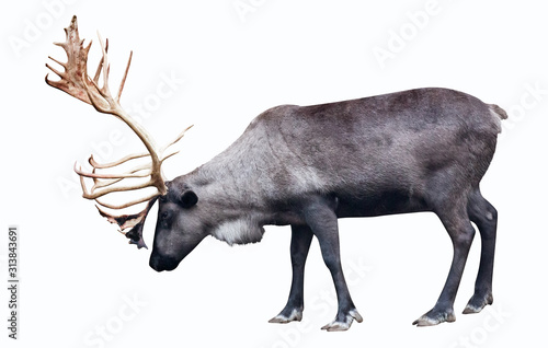 Fototapeta isolated hoofed reindeer on white obraz