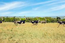 African Ostriches Run From Dan...