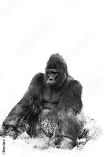 Photo The western lowland gorilla (Gorilla gorilla gorilla), an adult large silverback male