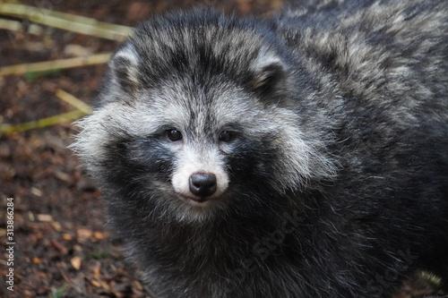 Fotomural Raccoon dog