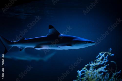 Photo Nice big white shark in the dark nature danger fish aquarium hobby attack