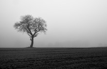 Bare Tree In A Meadow. Black A...