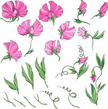 Sweet Pea Pink Flowers And Leaves, Vector Illustration. Big Set Of Elements Isolated On White Background