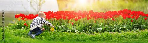 Cuadros en Lienzo Little child walking near tulips on the flower bed in beautiful spring day