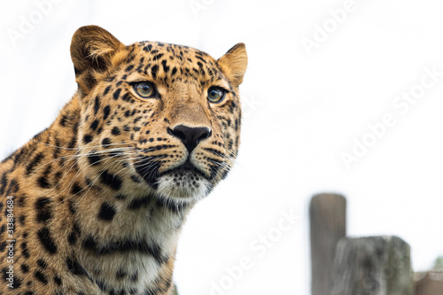 Photo  Portrait of a leopard on a cloudy day in winter in a zoo