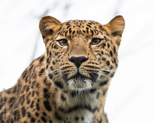 Fotografie, Tablou Portrait of a leopard on a cloudy day in winter in a zoo