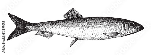 Fototapeta Atlantic herring (Clupea harengus) / vintage illustration from Brockhaus Konversations Lexikon 1908 obraz