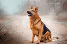 German Shepherd Dog Beautiful Portrait Magic Light Walk With Dogs
